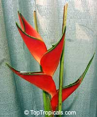 Heliconia stricta, Dwarf Jamaica Heliconia, Firebird