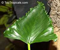 Alocasia triangularis, Triangular Alocasia  Click to see full-size image