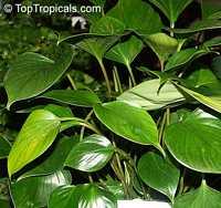 Homalomena sp., Homalomena  Click to see full-size image