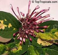 Clerodendrum quadriloculare, Winter Starburst, Fireworks, Clerodendron