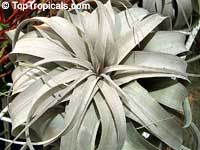 Tillandsia xerographica, Xerographica  Click to see full-size image