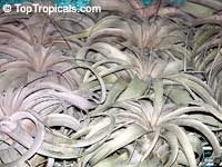 Tillandsia xerographica, Xerographica