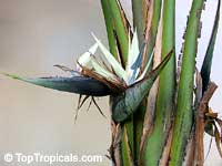 Strelitzia nicolai, Giant bird of paradise, white bird of paradise