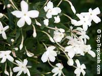 Jasminum polyanthum, Jasminum blinii, Jasminum delafieldii, Pink jasmine, Winter Jasmine, French Perfume  Click to see full-size image