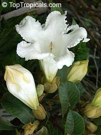 Beaumontia grandiflora - Easter Lily Vine