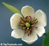 Magnolia (Michelia) figo - Banana Magnolia, 1 gal pot  Click to see full-size image