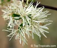 Chionanthus virginicus, Fringe Tree, Old Man's Beard  Click to see full-size image
