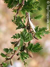 Vachellia cornigera, Acacia cornigera, Bullhorn Acacia  Click to see full-size image