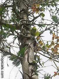 Acacia sphaerocephala, Bulls-Horn Acacia, Bee WattleClick to see full-size image