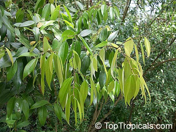 Cinnamomum aromaticum, Cinnamomum cassia, Cassia cinnamon ...