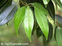 Cinnamomum aromaticum, Cinnamomum cassia, Cassia cinnamon, Chinese cinnamon  Click to see full-size image