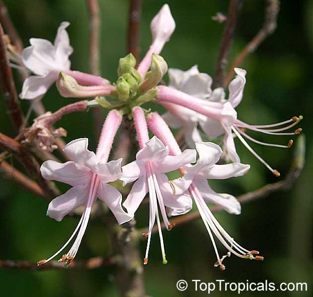 Rhododendron Canescens Wild Honeysuckle Piedmont Azalea