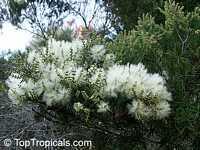 Melaleuca alternifolia , Tea TreeClick to see full-size image