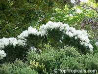 Melaleuca alternifolia , Tea Tree, Snow-in-Summer  Click to see full-size image