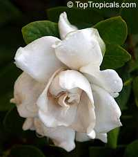 Gardenia x jasminoides Veitchii  Click to see full-size image