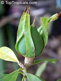 Solandra grandiflora, Cup of Gold Vine, Chalice Vine  Click to see full-size image