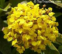 Stigmaphyllon emarginatum, Stigmaphyllon periplocifolium, Monarch Amazonvine  Click to see full-size image