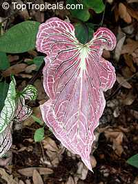 Caladium bicolor, Caladium, Fancy Leaved Caladium