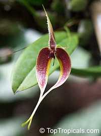 Bulbophyllum blumei, Bulbophyllum  Click to see full-size image