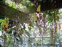 Thunbergia mysorensis, Thunbergia Anderson x Bedd, Hexacentris mysorensis, Clock VineClick to see full-size image