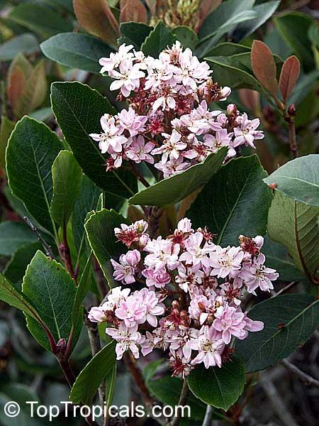 Rhaphiolepis sp raphiolepis yeddo hawthorn for Indian food hawthorne
