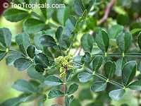 Zanthoxylum fagara, Wild Lime, Colima, Lime Prickly Ash