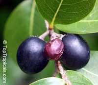 Chrysobalanus icaco, Cocoplum, Paradise Plum  Click to see full-size image