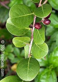 Chrysobalanus icaco, Cocoplum, Paradise PlumClick to see full-size image