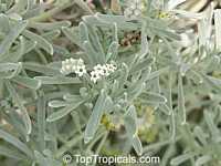 Argusia gnaphalodes, Heliotropium gnaphalodes, Sea Rosemary, Sea Lavender  Click to see full-size image