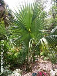 Sabal yapa, Bay Palmetto, Thatch Palm  Click to see full-size image