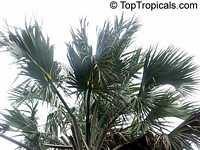 Sabal causiarum, Puerto Rican Hat Palm  Click to see full-size image