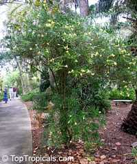 Brunfelsia densifolia, Serpentine Hill rain tree  Click to see full-size image