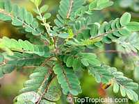 Alvaradoa amorphoides, Mexican alvaradoa  Click to see full-size image