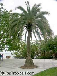 Phoenix sylvestris, Silvester Palm, Toddy Palm, Wild Date Palm  Click to see full-size image