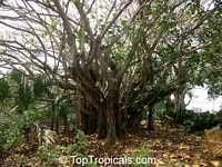 Ficus lutea, Giant-leaved fig, Lagos Rubbertree  Click to see full-size image