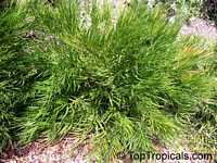 Zamia integrifolia, Zamia floridana, Coontie, Coontie Palm, KoontiClick to see full-size image