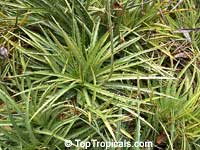 Dyckia microcalyx, Dyckia  Click to see full-size image
