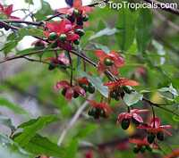 Ochna serrulata, Ochna multiflora, Ochna atropurpurea, Mickey Mouse Plant, Bird's Eye Bush, Small-leaved plane, Carnival bush