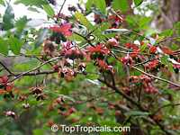 Ochna serrulata, Ochna multiflora, Ochna atropurpurea, Mickey Mouse Plant, Bird's Eye Bush, Small-leaved plane, Carnival bush  Click to see full-size image