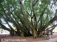 Ficus bengalensis, Ficus indica, Banyan Tree  Click to see full-size image