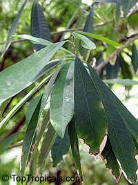 Chrysophyllum gonocarpum, Guatambu-De-Leite  Click to see full-size image