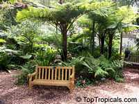 Cyathea cooperi - Australian tree fern  Click to see full-size image