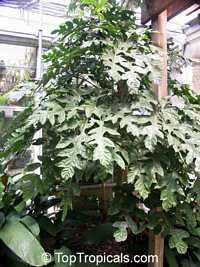 Trevesia palmata, Snowflake Tree, Snowflake Aralia  Click to see full-size image