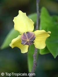 Mitrephora wangii, Mitrephora  Click to see full-size image