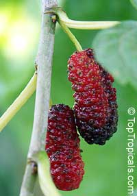 Morus hybrid, Mulberry