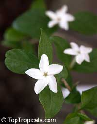 Psilanthus bengalensis, Paracoffea  Click to see full-size image