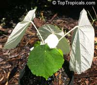 Pterospermum acerifolium, Dinnerplate Tree  Click to see full-size image