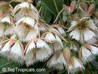 Elaeocarpus grandiflorus - Fairy Petticoats  Click to see full-size image