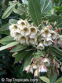 Elaeocarpus decipiens (angustifolius) - Japanese Blueberry Tree  Click to see full-size image