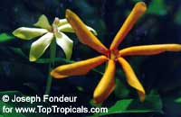 Gardenia sp., Gardenia Ululani, Ulu-Lani  Click to see full-size image